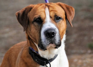 Chief (Boxer mix) Medium - Male