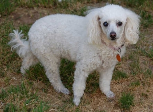Bella (Poodle) Small - Female