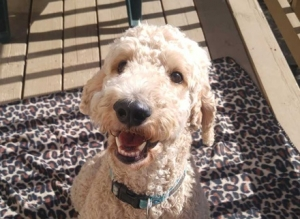 Casey (Standard Poodle) Large - Male