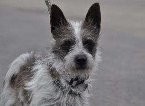 Mr. Wiggins (Terrier Mix) Small - Male