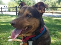 Lilly (Manchester Terrier/Cattle Dog) Medium - Female