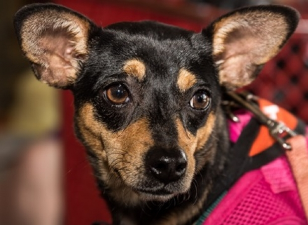 Jewel (Doxie-Min Pin mix) Small - Female