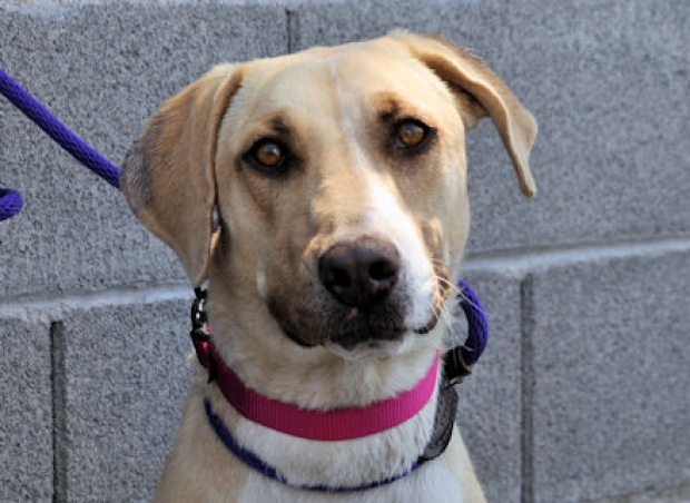 Roxy (Lab mix) Medium - Female