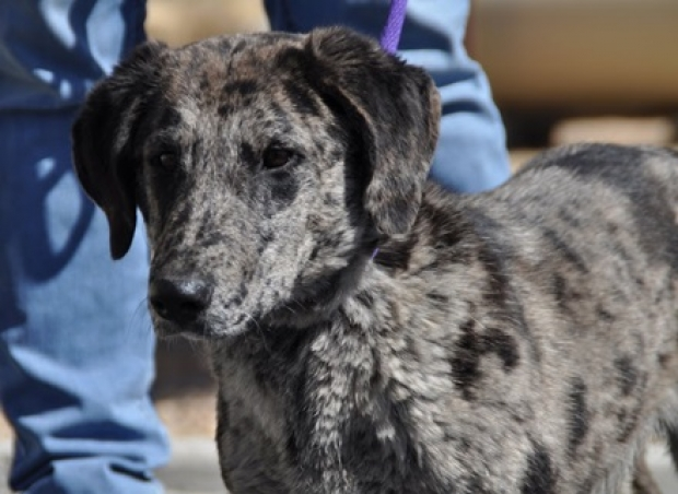 Mac (Dachshund/Catahoula mix) Medium - Male