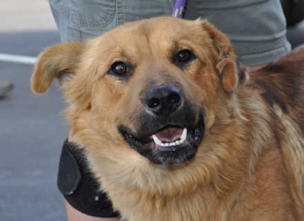 Willie (Shepherd-Golden mix) Medium - Male