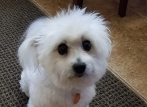 Joey (Maltese Mix) Small - Male