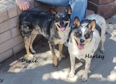 ~CL - Dixie (Cattle Dog) Medium- Female